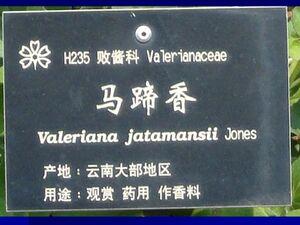 Valeriana jatamansi croizat n1.jpg