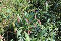 Persicaria Maculosa G 2571.jpg