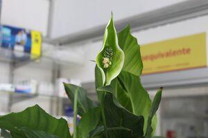 Spathiphyllum 20210321 G 0281.jpg